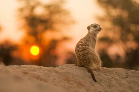 Adolescence stress alters serving to habits of meerkat offspring - Phys.org - stress, serving, offspring, meerkat, habits, alters, adolescence