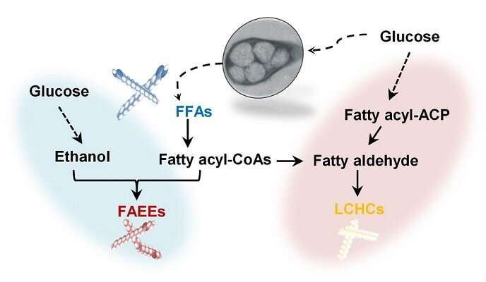 Efficiently producing fatty acids and biofuels from glucose