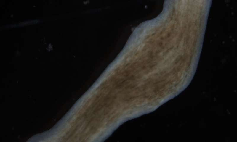Electrical signals kick off flatworm regeneration