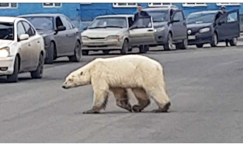 Emaciated polar bear found in Russia taken for treatment