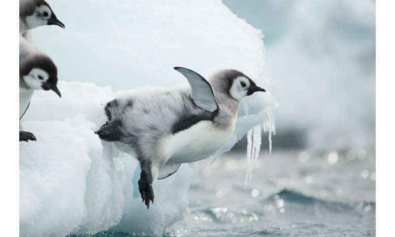 Emperor penguins' first journey to sea