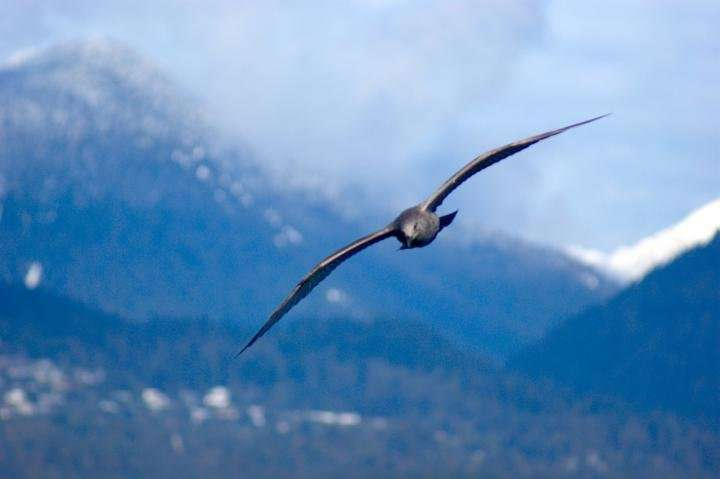 Engineers, zoologists reveal how gulls 'wing morph' for stable soaring