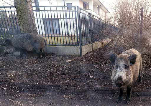 EU OKs Poland's wild boar slaughter to fight swine disease