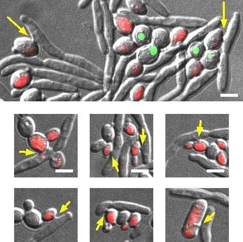 Exploiting parasitic yeast to kill yeast pathogens