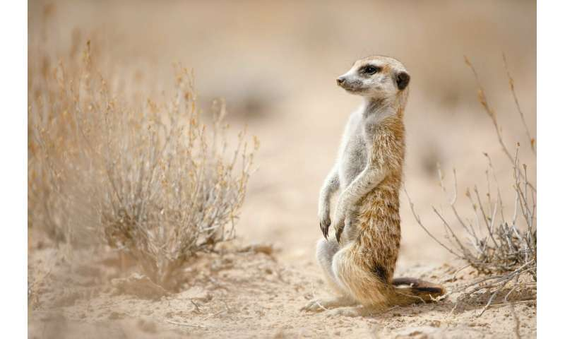 Fate of meerkats tied to seasonal climate effects