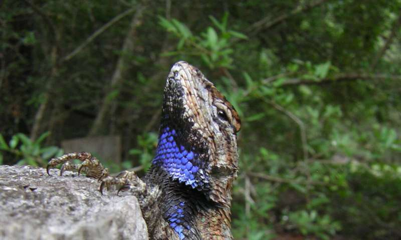 Features that make lizards sexy are resilient to stress