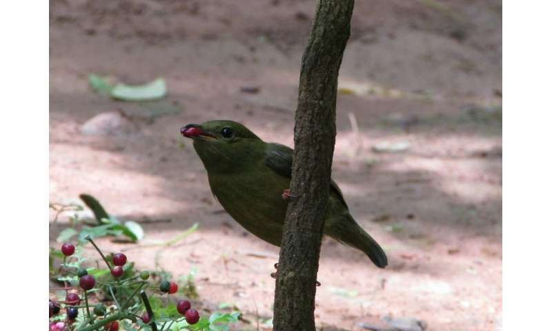 Female manakins use male mating call when implanted with male hormones