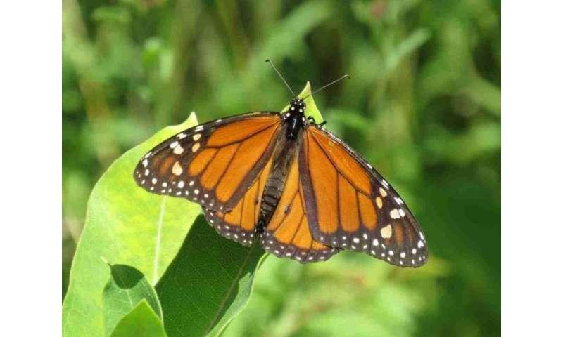 Fewer monarch butterflies are reaching their overwintering destination