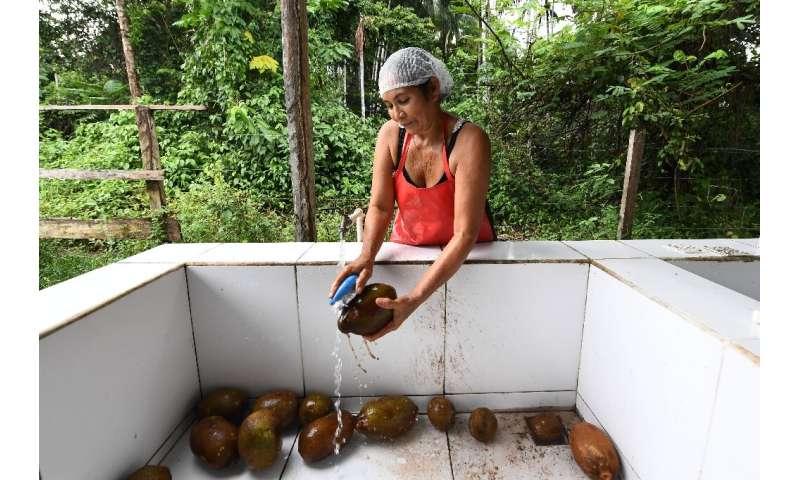 Filomena Freitas cleans cupuacu tree fruits at the Boa Esperanca community in the Amana Sustainable Development Reserve, Amazona