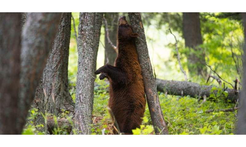 First study of black bear population in 30 years identifies need for safer, habitable public land in Alberta