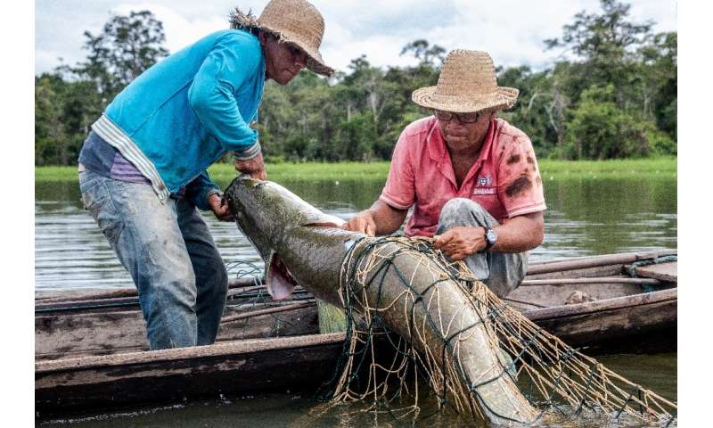 Fishermen capture a large Pirarucu fish from the water at the Amana Sustainable Development Reserve, in Amazonas State, northern