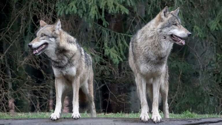 For over 150 years, wolves were extinct in Germany but they made a comeback in 2000