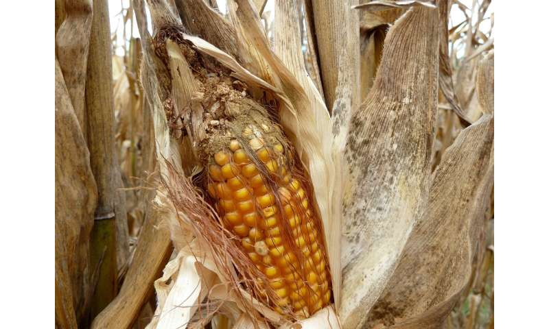 Fungal mating: Next weapon against corn aflatoxin?