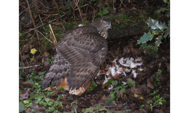 Genomic study finds Haida Gwaii's northern goshawks are highly distinct and at-risk
