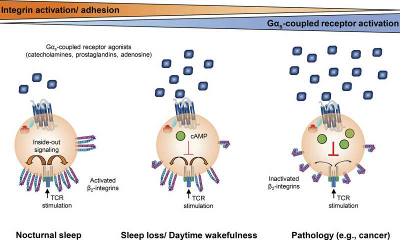 German researchers discover how sleep can fight infection