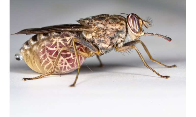 Global eradication of 'fly of death' not ethically justified, researchers conclude