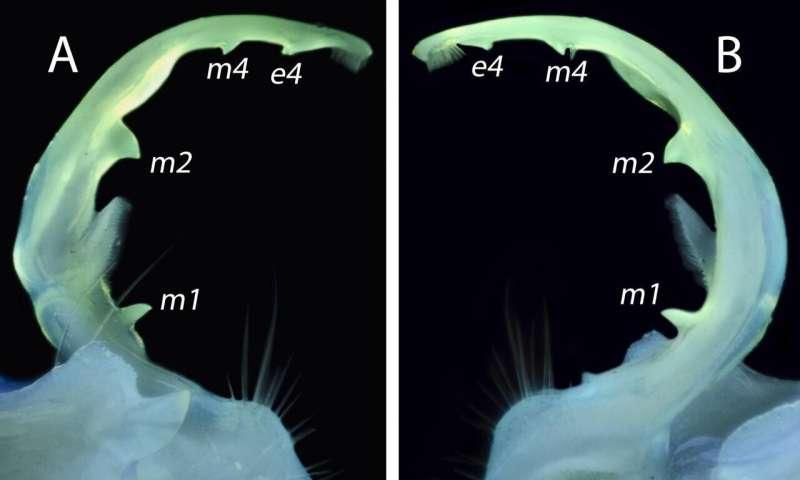 Glowing millipede genitalia help scientists tell species apart