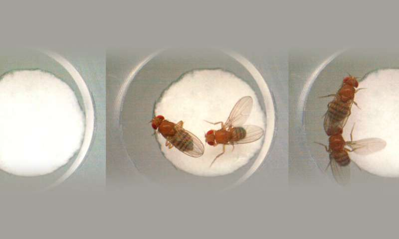 Gut bacteria in fruit flies do not have a major influence on behavior