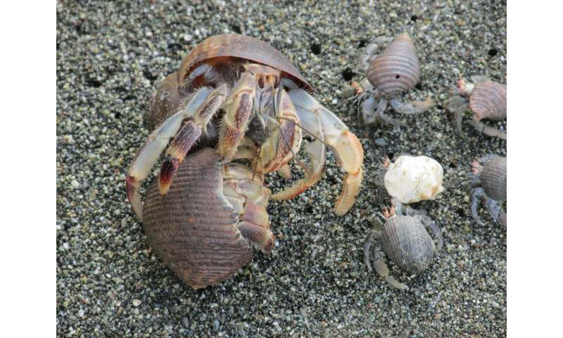 **Hermit crabs found to use vibration to ward off would-be shell evictors