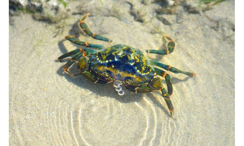 How hunting for crabs in a museum helped unlock secrets of their evolution