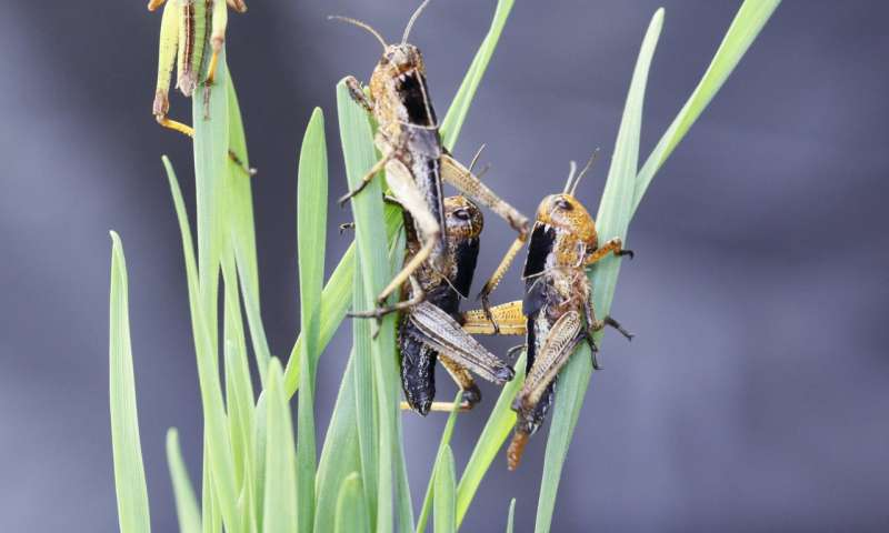 How locusts switch colours in different settings