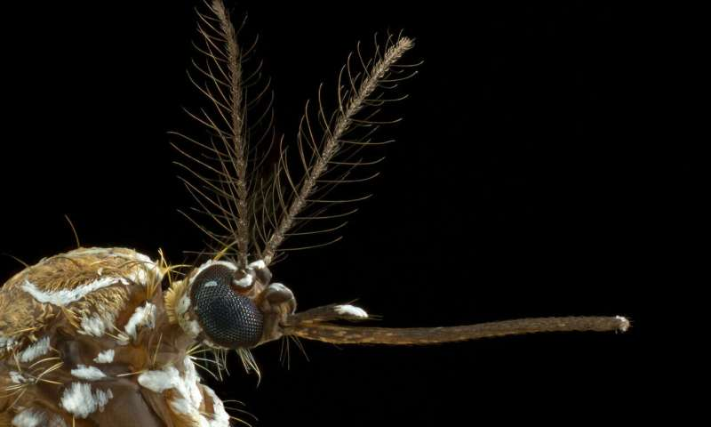 How mosquitoes smell human sweat (and new ways to stop them)
