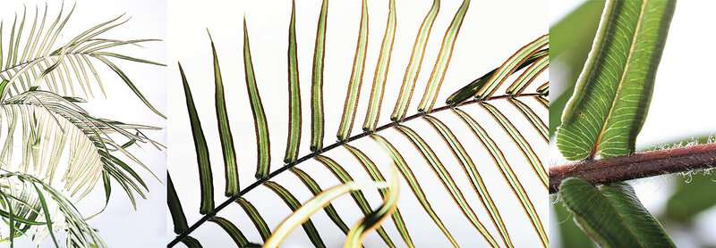 How one fern can soak up so much arsenic – and not die