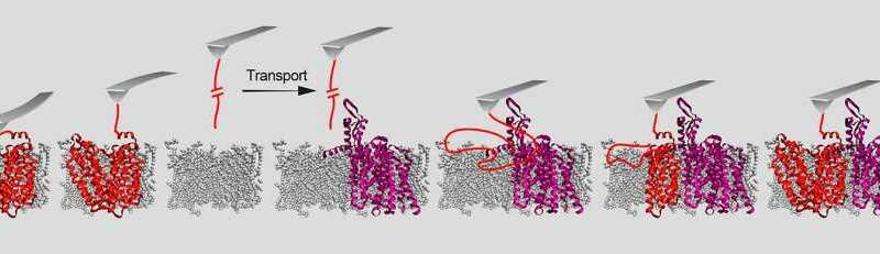 **How proteins become embedded in a cell membrane