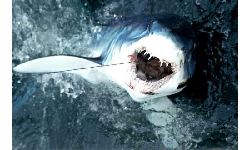 Human appetites are pushing makos and other iconic sharks the brink of extinction, scientists warned in a new assessment of the