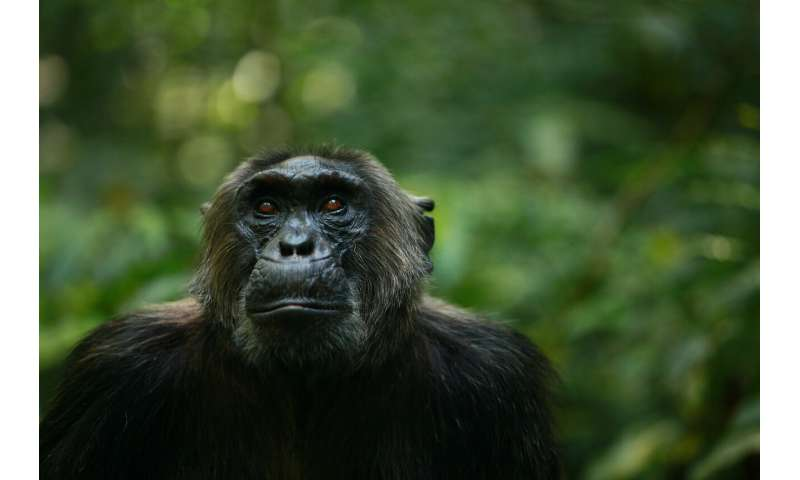 Human impacts erode behavioral diversity in chimpanzees