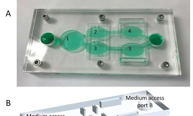 Human-on-a-chip model tests cancer drug efficacy and toxicity for therapeutic index