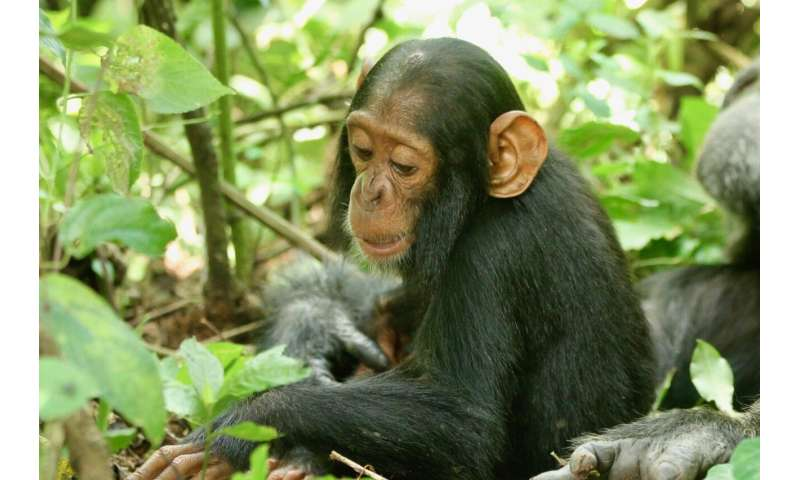 Human respiratory viruses continue to spread in wild chimpanzees