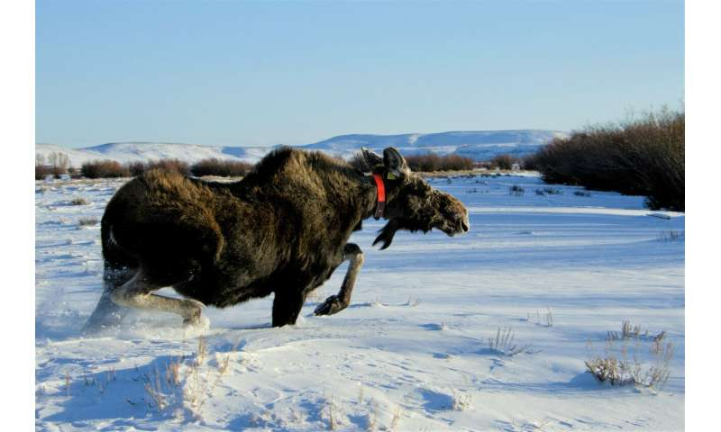 Hungry moose more tolerant of wolves' presence