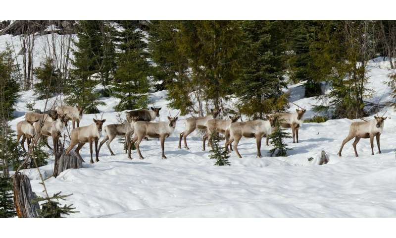 Immediate population management needed to save remaining caribou herds, study shows