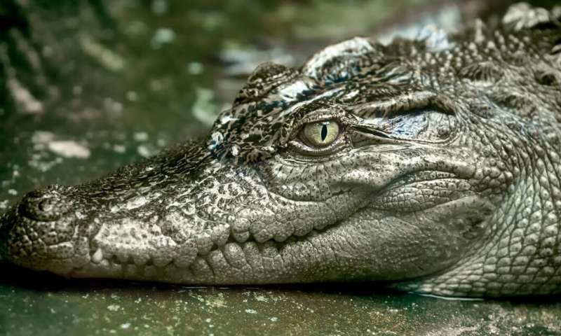 In the remote Cambodian jungles, we made sure rare Siamese crocodiles would have enough food