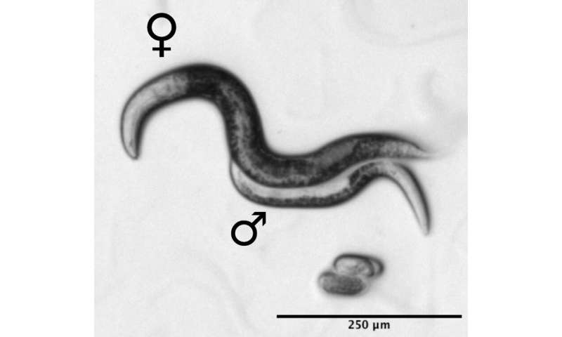 In this nematode species males are needed for reproduction but not their genes