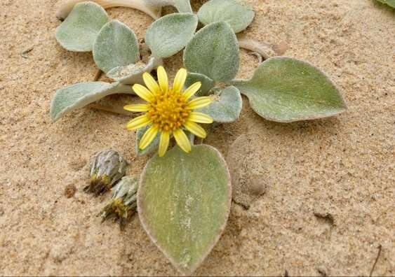 Introduced daisy changes its appearance on Australian beaches, defying evolutionary expectations