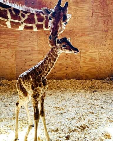It's a boy! April the Giraffe gives birth again