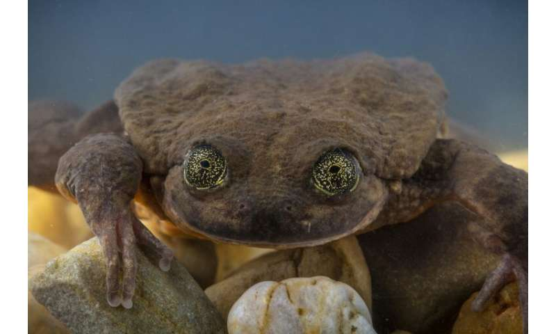Julieta, an aquatic Sehuencas frog, was found in a Bolivian cloud forest and now it is hoped that she will mate with Romeo, a ba