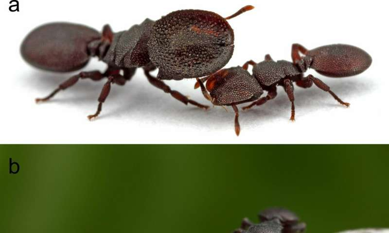 Laborer, doorkeeper, future queen: Neurobiology in turtle ants reflects division of labor