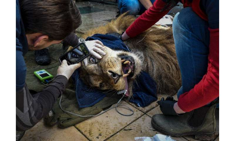 Lenci is being checked by animal welfare experts before its transfer along with the two other lions