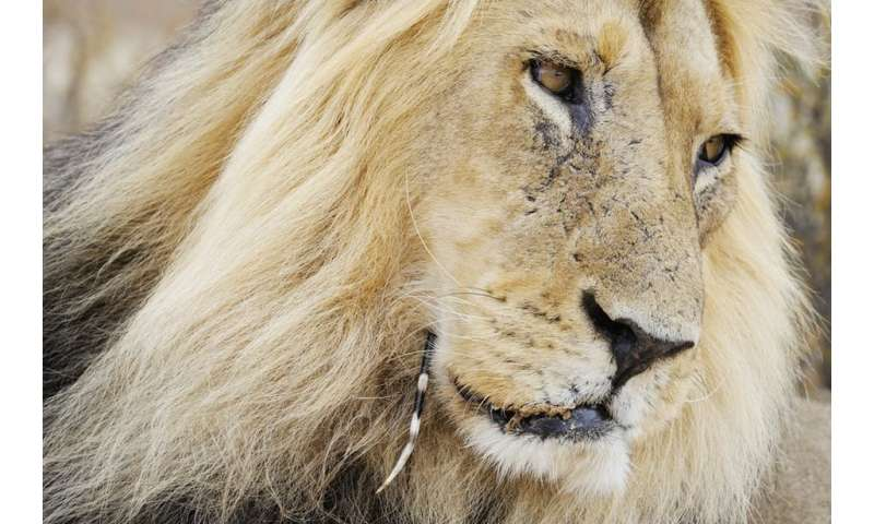 Lions sometimes suffer if they attack a porcupine. So why do they do it?