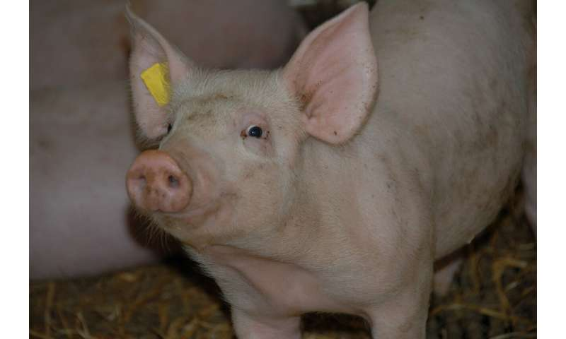 Listeria in the feed: A dangerous hygiene problem in fattening pigs