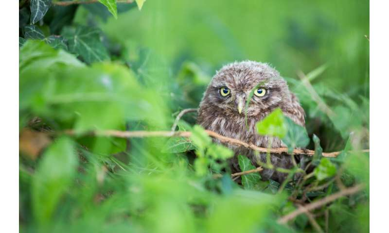 Little owls on the move