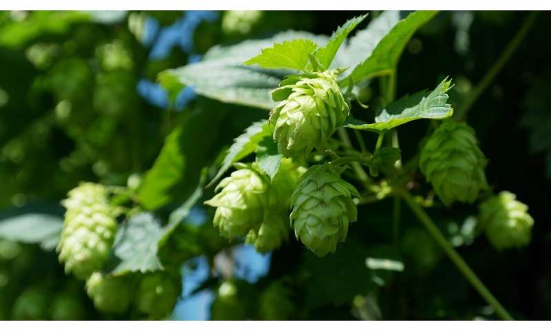 Liver, colon cancer cells thwarted by compounds derived from hops