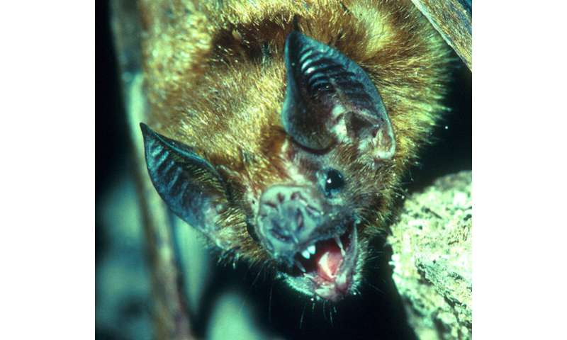 Long-lived bats could hold secrets to mammal longevity