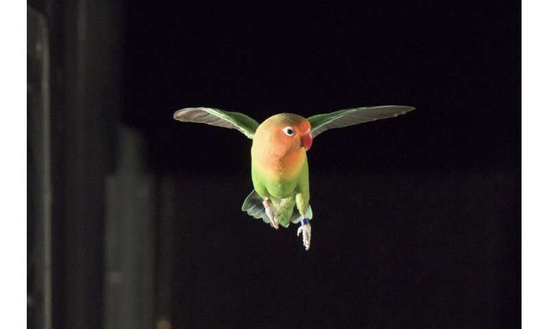 Lovebirds ace maneuvers in the dark