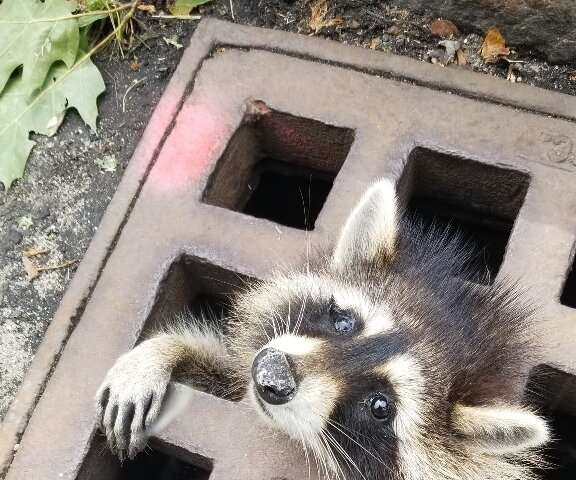 Massachusetts firefighters had to sedate the raccoon in order to free it