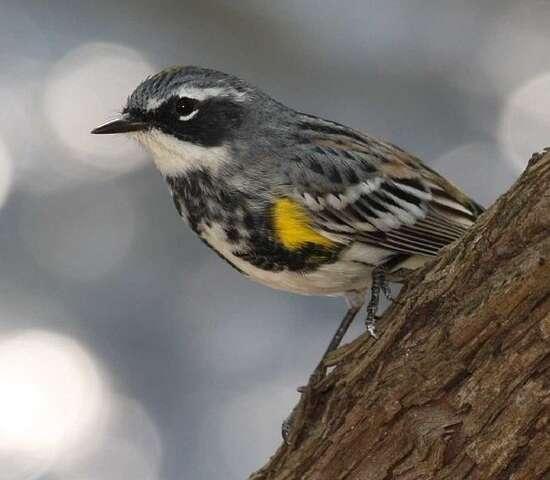 Mercury exposure found to alter the migration behavior of birds