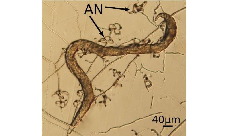 MicroRNA-like RNAs contribute to the lifestyle transition of Arthrobotrys oligospora
